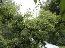Epler i hagen